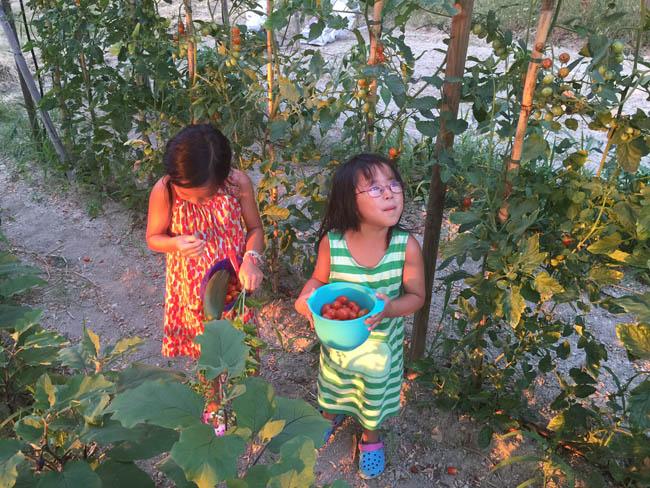raccolta pomodori estate 2015(© Katrina Daschner)