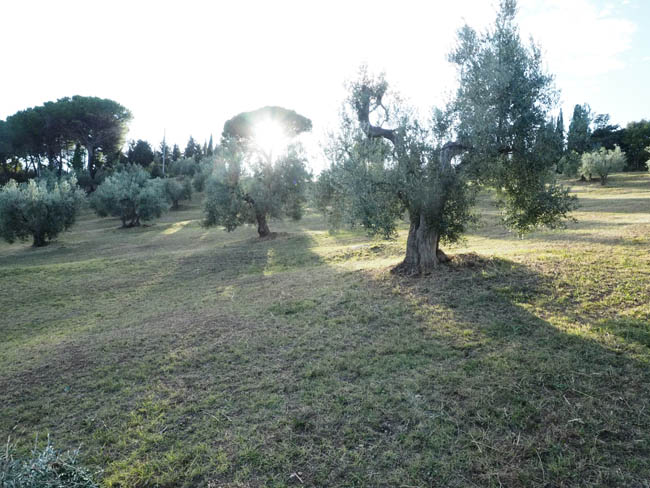 the olive harvest is about to begin